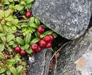 tøttebær