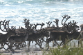 Reindeer at the Barents Sea coast