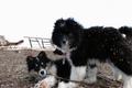 Tundra dogs