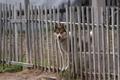Guard dog in Lovozero