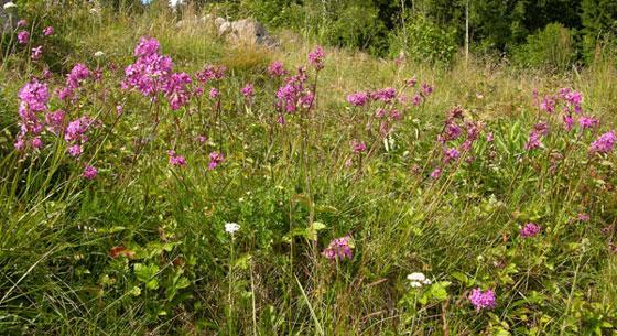 Engtjæreblomeng - tørr, middelsrik slåtteeng i låglandet. Foto: Tor Øystein Olsen