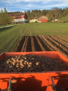 Potetsetting på Øren gård 16