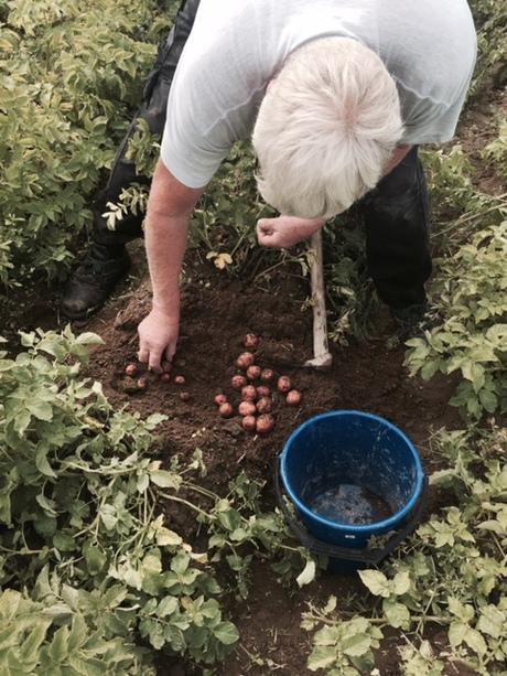 160805 Petter graver potet