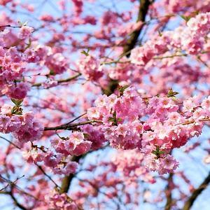 KirsebærblomsttrenatursommerPixabay