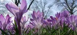 Blomsten krokus