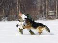 Dog catching runaway. Army demonstration in Pasvik.