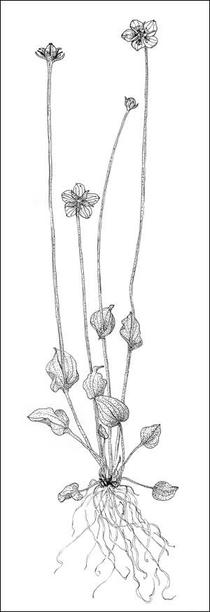 Jåblom (Parnassia palustris) Tegning: Frances Dodman