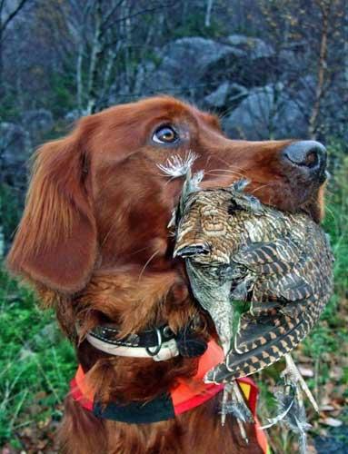 Hund på jakt. Foto: Jone Omdal