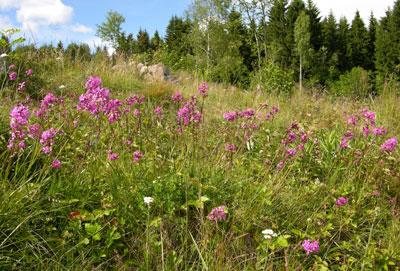 Engtjæreblomeng Foto: Tor Øystein Olsen