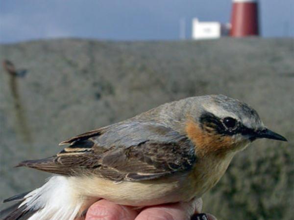 Fugl ved Eigerøy fyr