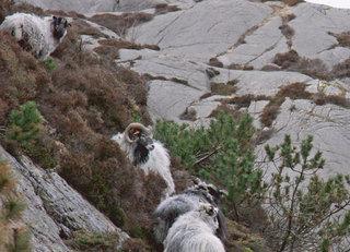 Sauer på Dyrøya
