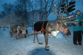 Reindeer ride in Murmansk