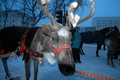 Reindeer in Murmansk
