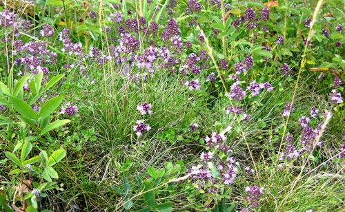 Timian (Thymus sp.). Foto: Tor Øystein Olsen