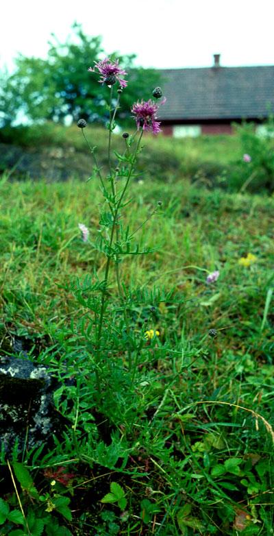 Fagerknoppurt (Centaurea scabiosa). Foto: Tor Øystein Olsen