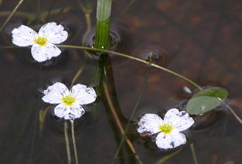 Flytegro (Luronium natans)