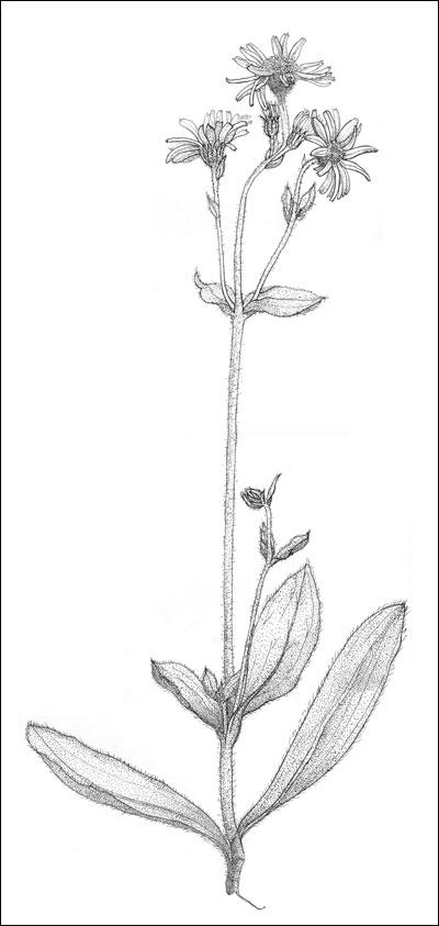 Solblom (Arnica montana). Tegning av Frances Dodman