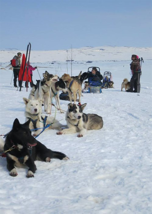 Hundespann Var Transportmiddel Og Aktivitet Foto Vibeke Clausen