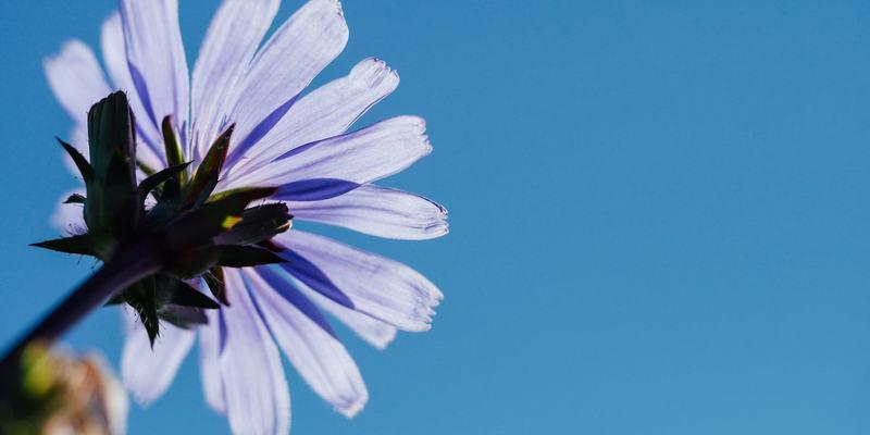 Lilla blomst, blå himmel