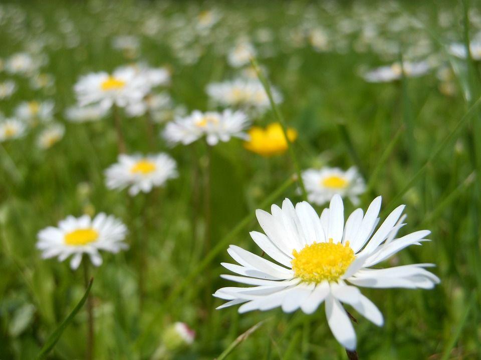 Tusenfryd blomst eng Pixabay
