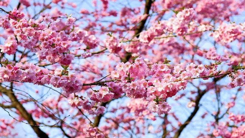 Kirsebær blomst tre natur sommer Pixabay