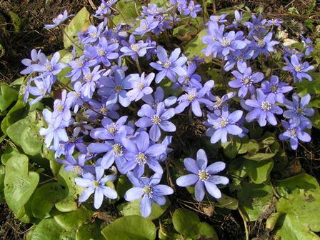 Blåveis i hagen