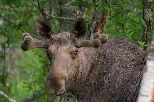Elgokse, foto Asbjørn Knutsen