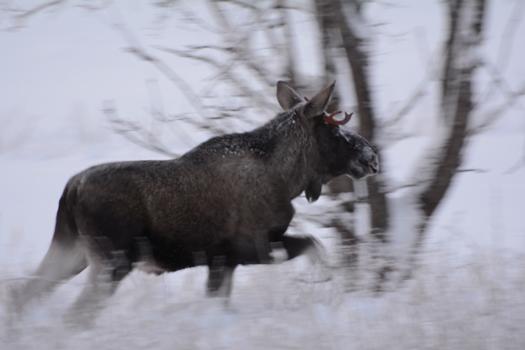 Elg i bevegelse, foto Asbjørn Knutsen