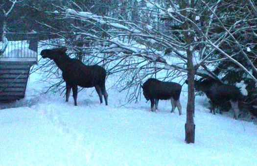 Elgfamilie på skolebesøk