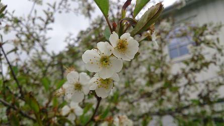 Kirsebærblomst