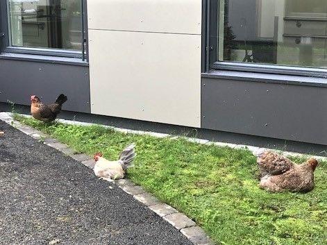 Besøkshøner