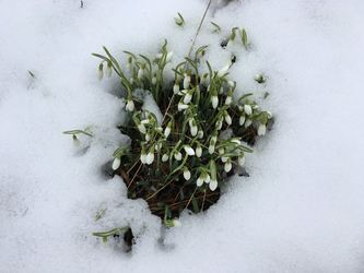 Snøklokker i snø