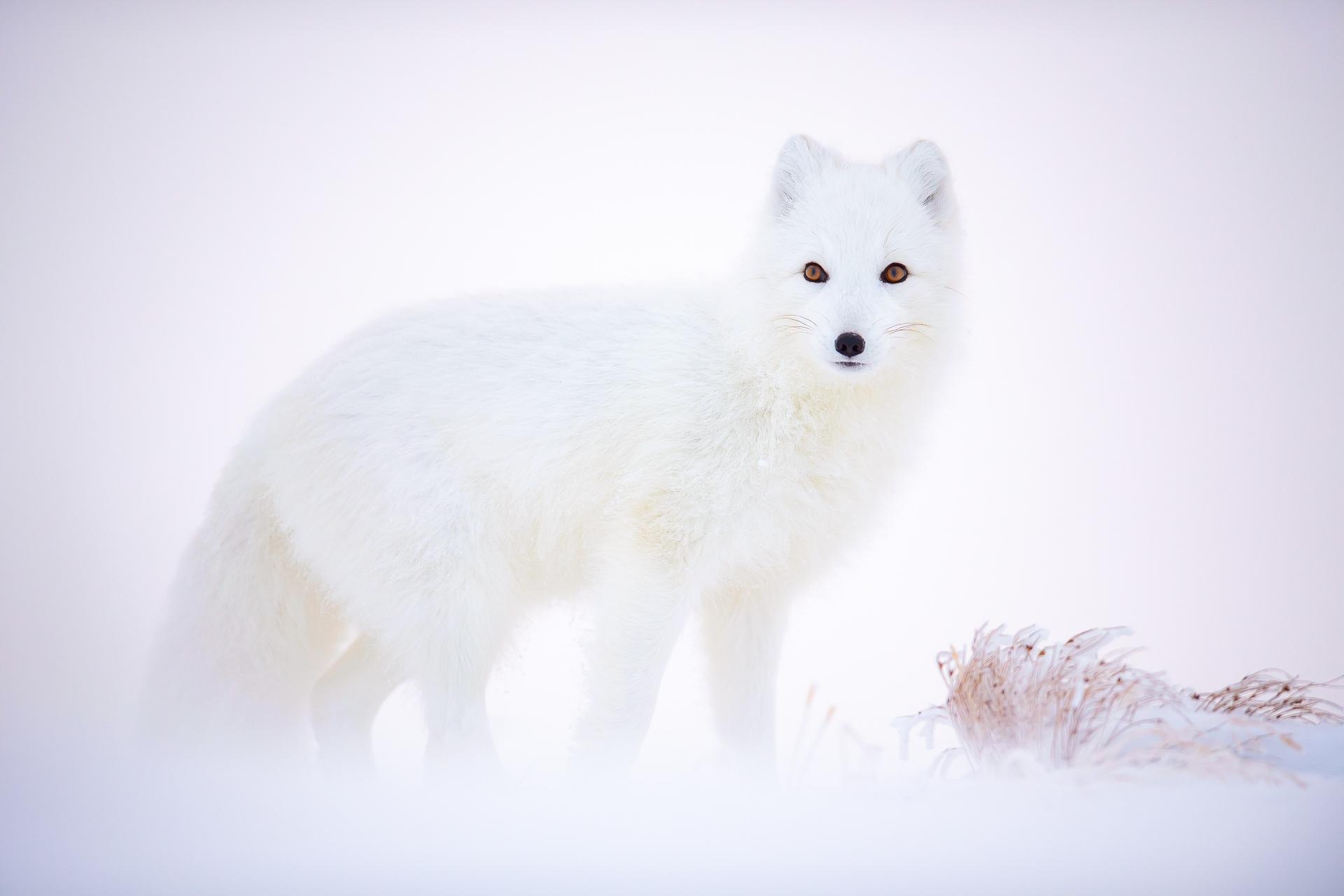 November_Arnfinn Johansen_Arctic Fox.jpg