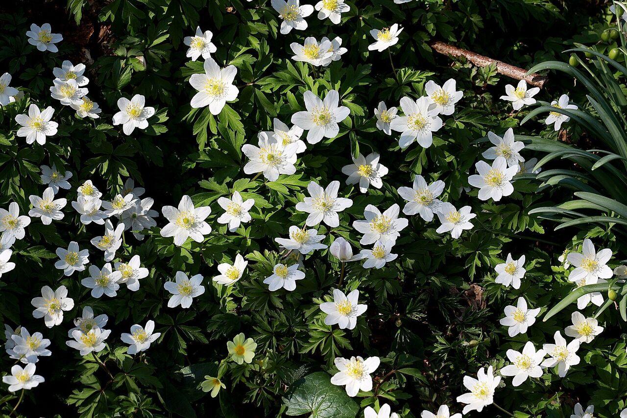 Hvitveis blomst  vår Bildet er tatt av Franz W. fra Pixabay