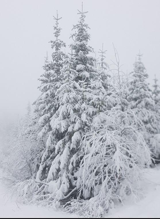 Tunge trær om vinteren