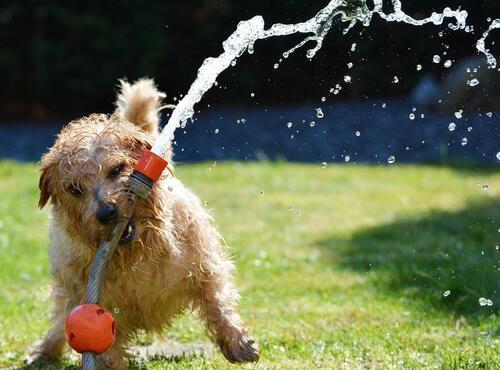 Hund som leker med vannslange